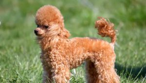 Common Poodle dog diseases